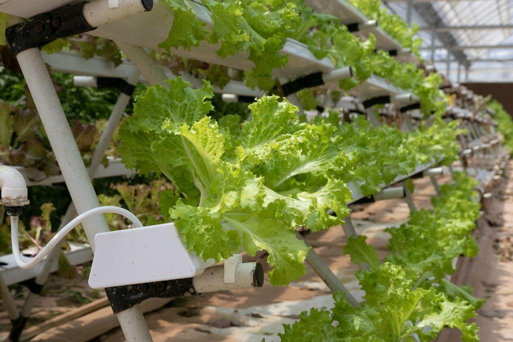 lettuce is grown vertically in a hydroponic garden